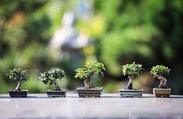 entretien bonsai